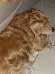 Benjy , chien Labrador Retriever