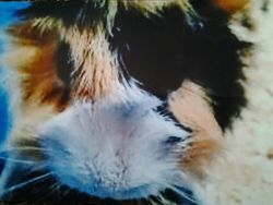 Benjy, rongeur Cochon d'Inde