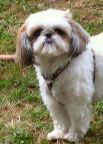 Benjy, chien Shih Tzu