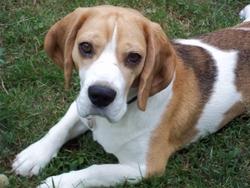 Benjy, chien Beagle