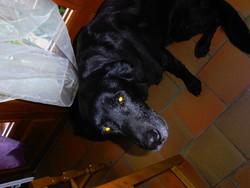 Benny, chien Labrador Retriever
