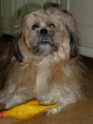 Benny, chien Lhassa Apso