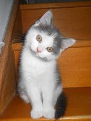 Luffy, chat Européen