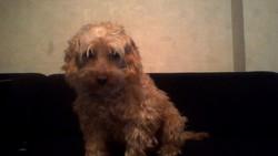 Beny, chien Caniche