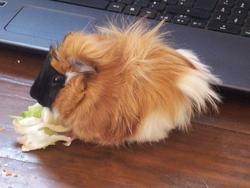 Birdy, rongeur Cochon d'Inde