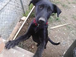 Nikos, chien Labrador Retriever
