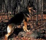 Bergi, chien Berger allemand