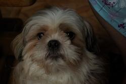 Berlioz, chien Shih Tzu