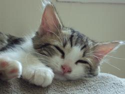 Berlioz, chat Gouttière