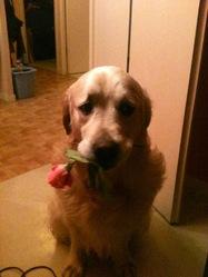 Berlioz, chien Retriever de la Nouvelle-Écosse