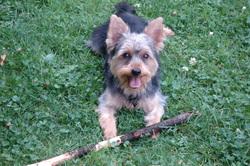 Berlioz, chien Yorkshire Terrier
