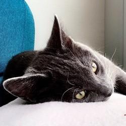 Berlioz, chaton Chartreux