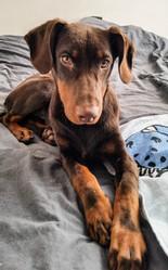 Berlue, chien Dobermann