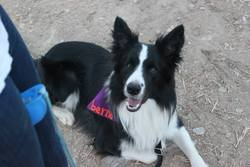 Berna, chien Border Collie