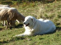 Bertille, chien Chien de montagne des Pyrénées