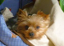 Béryl, chien Yorkshire Terrier