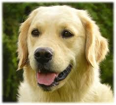 Plume, chien Golden Retriever