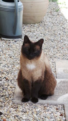 Betsi, chat Siamois