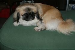 Betsie, chien Pékinois