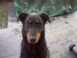 Betsy, chien Beauceron