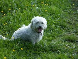 Betsy, chien Bichon maltais