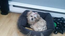 Betsy, chien Shih Tzu