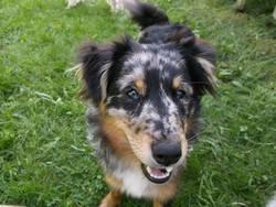 Béttie, chien Berger des Pyrénées
