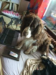 Betton , chien Springer anglais