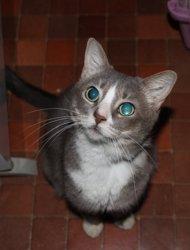 Betty, chat Européen