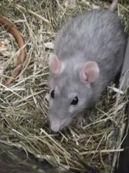 Betty Décédée, rongeur Rat