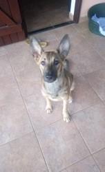 Betty, chien Berger belge
