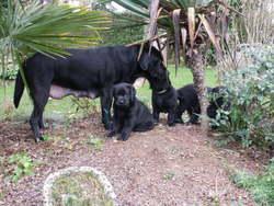 Betty, chien Labrador Retriever