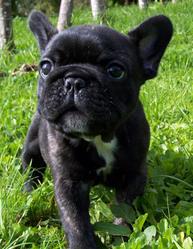 Betty, chien Bouledogue français