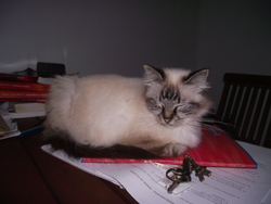 Betty, chat Birman
