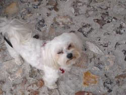 Betty, chien Bichon maltais