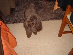 Betty, chien Caniche