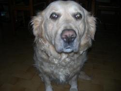 Betty, chien Golden Retriever