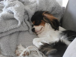 Betty, chien Cavalier King Charles Spaniel