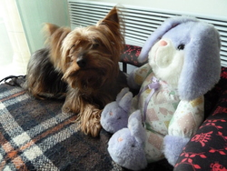 Betty, chien Yorkshire Terrier
