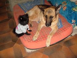 Betty, chien Berger allemand