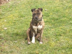 Betty, chien American Staffordshire Terrier