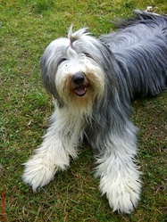 Betty, chien Bearded Collie