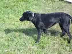 Bettyboop, chien Labrador Retriever
