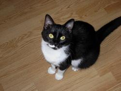 Boubou , chat Européen