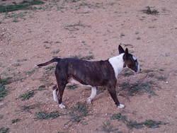 Beuxi, chien Bull Terrier