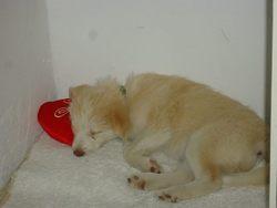 Béya, chien Husky sibérien