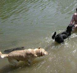 Beybey Loulou, chien Labrador Retriever