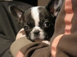 Yukiko, chien Bouledogue français
