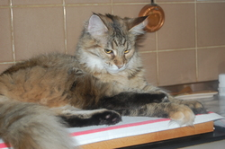 Sangha, chat Maine Coon