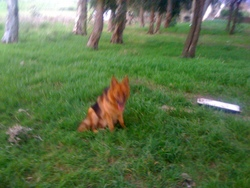 Bahccus, chien Berger allemand